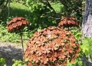Edelrost-Blume - Hortensie